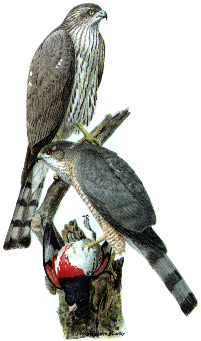 Hawk (Order: Falconiformes) - Wiki; Image ONLY