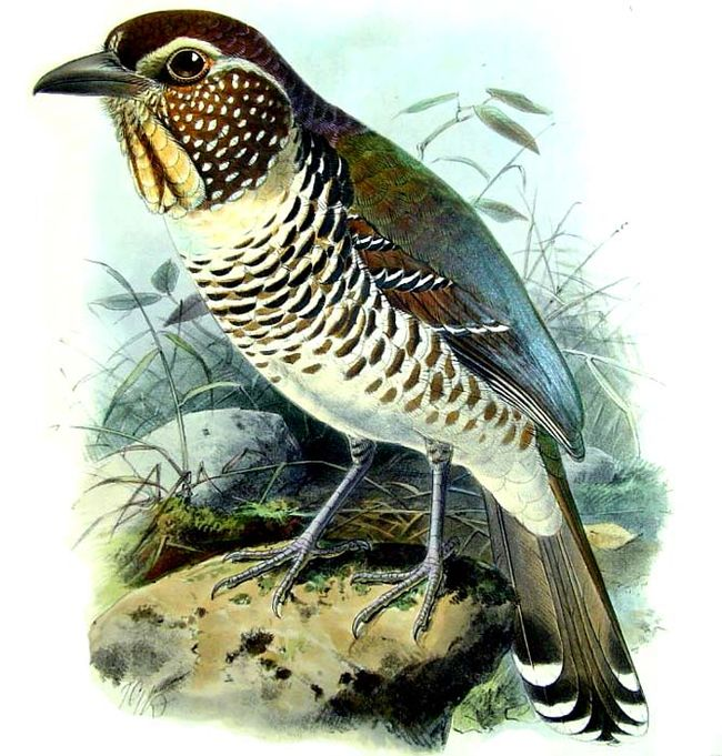 Short-legged Ground-roller (Brachypteracias leptosomus) - Wiki; Image ONLY