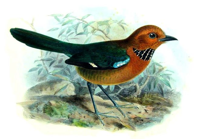 Rufous-headed Ground-roller (Atelornis crossleyi) - Wiki; Image ONLY