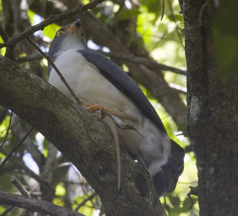 Slaty-backed Forest-falcon (Micrastur mirandollei) - Wiki; DISPLAY FULL IMAGE.