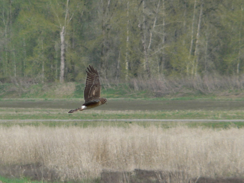 Northern Harrier, Hen Harrier (Circus cyaneus) - Wiki; DISPLAY FULL IMAGE.