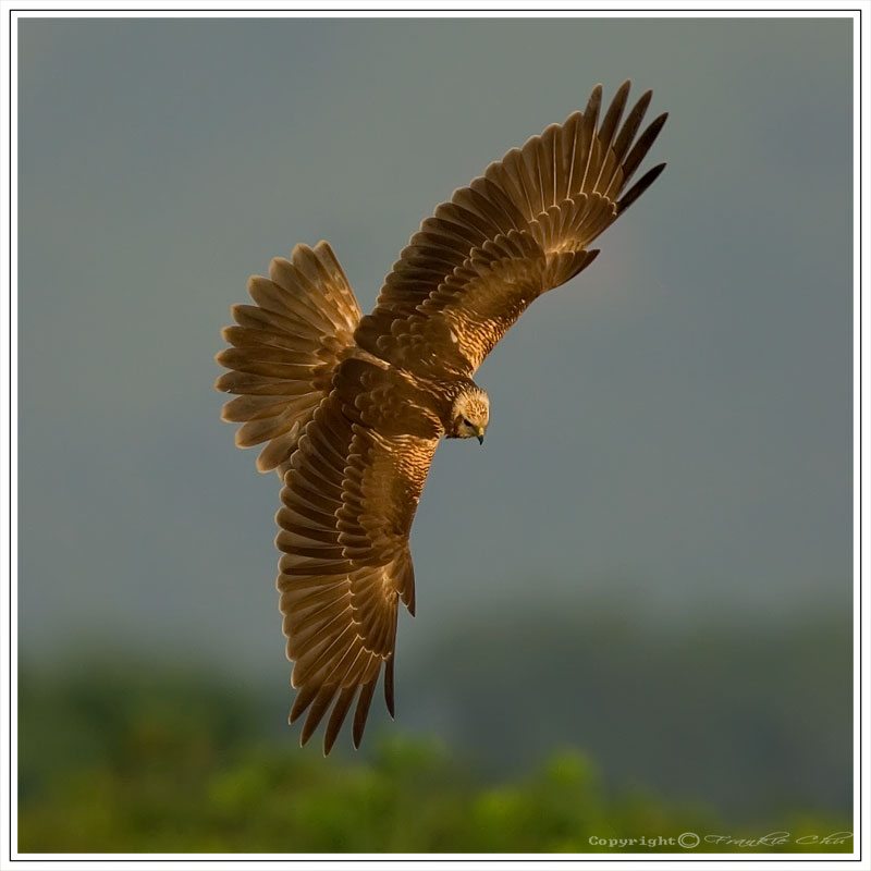 Eastern Marsh Harrier (Circus spilonotus) - Wiki; Image ONLY