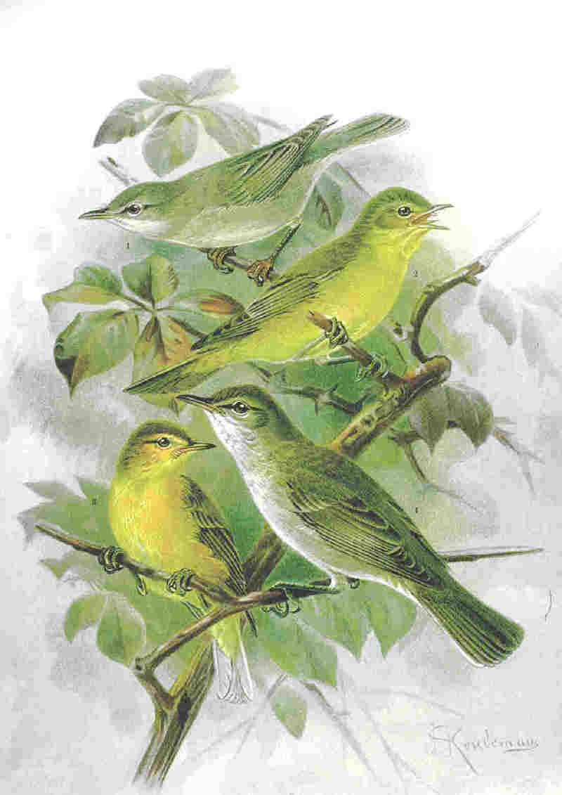 Tree Warbler (Family: Acrocephalidae, Genus: Hippolais) - Wiki; DISPLAY FULL IMAGE.