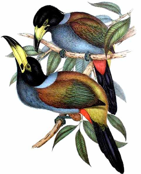 Hooded Mountain-toucan (Andigena cucullata) - Wiki; Image ONLY
