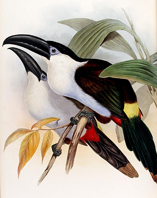 Black-billed Mountain-toucan (Andigena nigrirostris) - Wiki; Image ONLY
