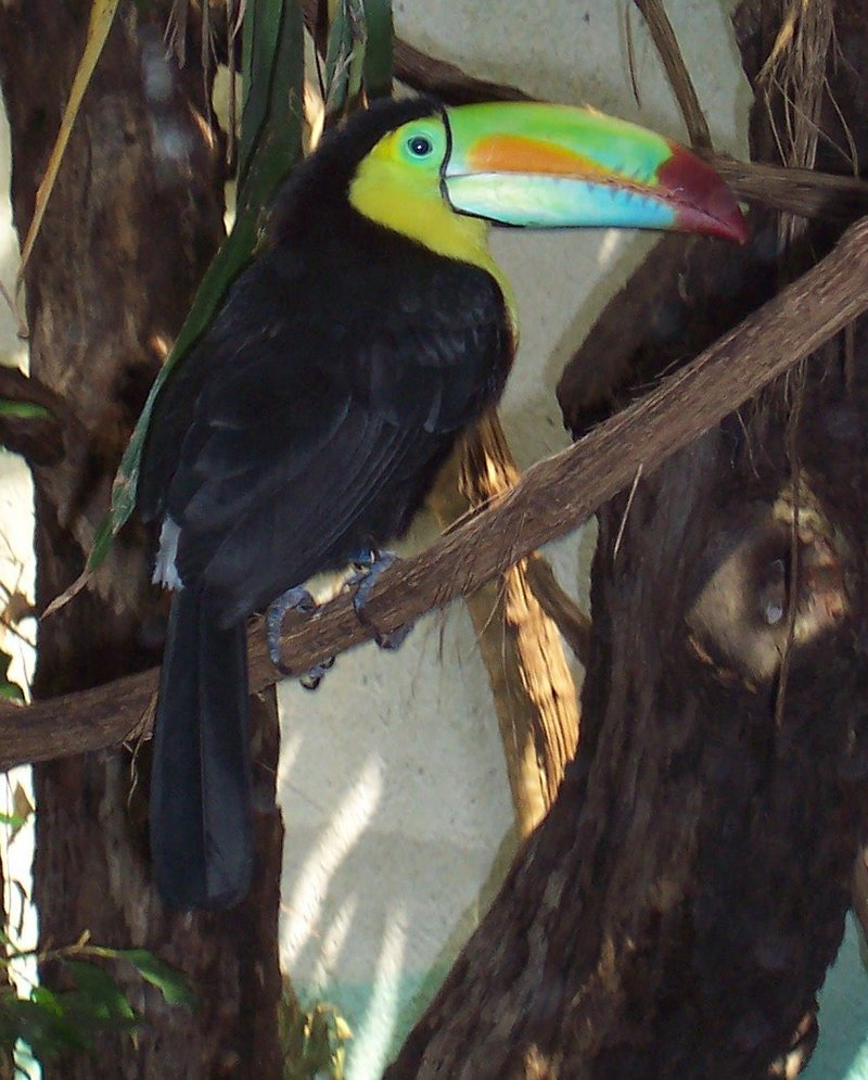 Keel-billed Toucan (Ramphastos sulfuratus) - Wiki; DISPLAY FULL IMAGE.