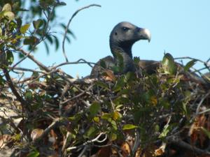 Cambodian Vulture Nests Offer Hope For Species [ScienceDaily 2007-02-21]; Image ONLY