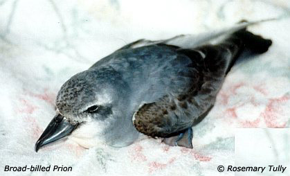 Broad-billed Prion (Pachyptila vittata) - Wiki; Image ONLY