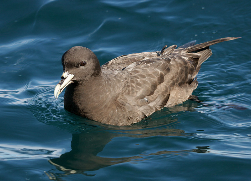 White-chinned Petrel (Procellaria aequinoctialis) - Wiki; DISPLAY FULL IMAGE.