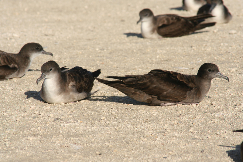 Wedge-tailed Shearwater (Puffinus pacificus) - Wiki; DISPLAY FULL IMAGE.