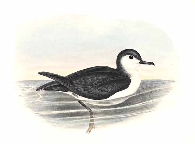Southern Little Shearwater (Puffinus assimilis) - Wiki; Image ONLY