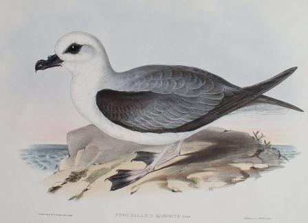 White-headed Petrel (Pterodroma lessonii) - Wiki; Image ONLY