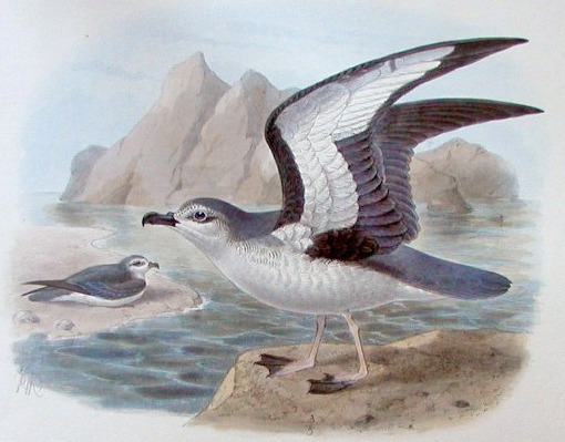 Chatham Petrel (Pterodroma axillaris) - Wiki; Image ONLY