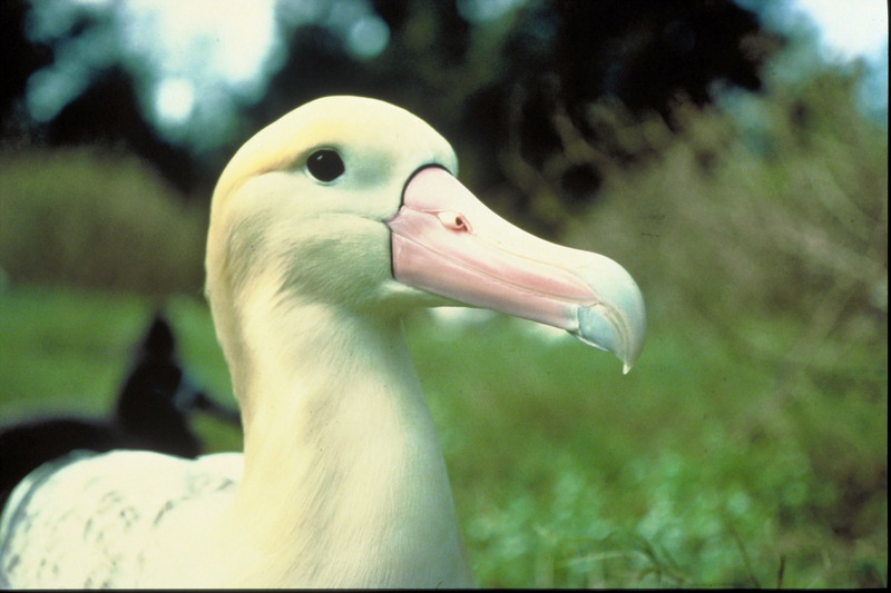 Albatross (Family: Diomedeidae) - Wiki; DISPLAY FULL IMAGE.