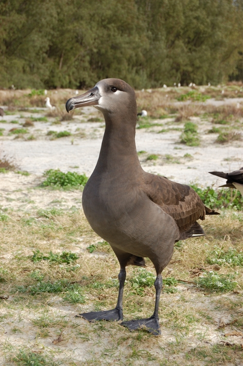 Black-footed Albatross (Phoebastria nigripes) - Wiki; Image ONLY