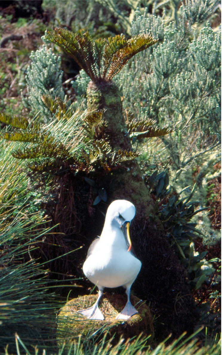 Atlantic Yellow-nosed Albatross (Thalassarche chlororhynchos) - Wiki; Image ONLY