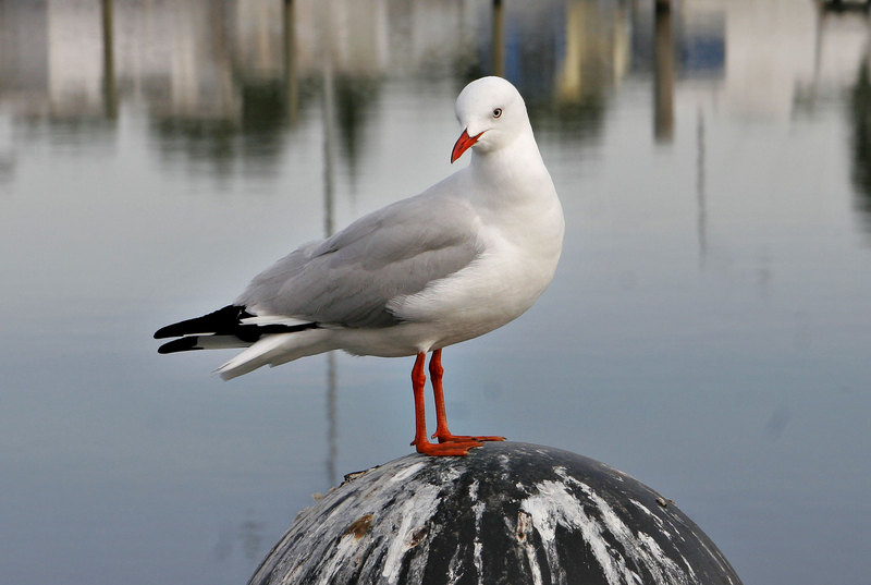 Silver Gull (Larus novaehollandiae) - Wiki; DISPLAY FULL IMAGE.