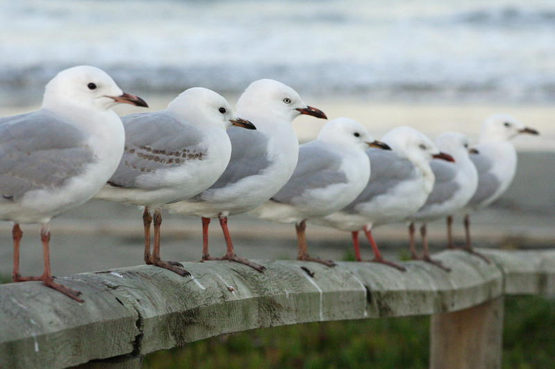 Red-billed Gull (Larus scopulinus) - Wiki; DISPLAY FULL IMAGE.