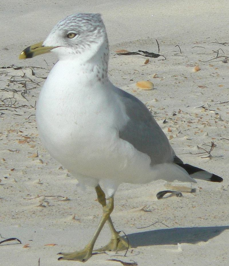 Ring-billed Gull (Larus delawarensis) - Wiki; DISPLAY FULL IMAGE.