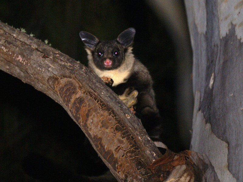 Yellow-bellied Glider (Petaurus australis) - Wiki; DISPLAY FULL IMAGE.