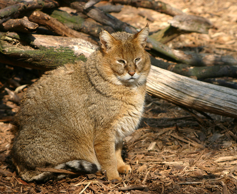 Rohrkatze-6218-Swamp Lynx or Jungle Cat (Felis chaus).jpg