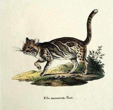 Marbled Cat (Pardofelis marmorata).jpg