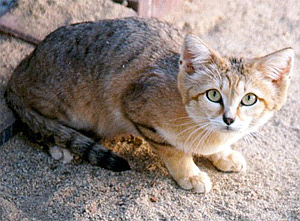 Sand Cat (Felis margarita) - Wiki; Image ONLY