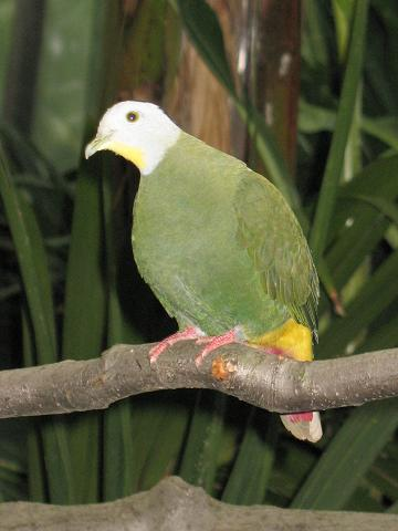 Black-naped Fruit-dove (Ptilinopus melanospilus) - Wiki; Image ONLY