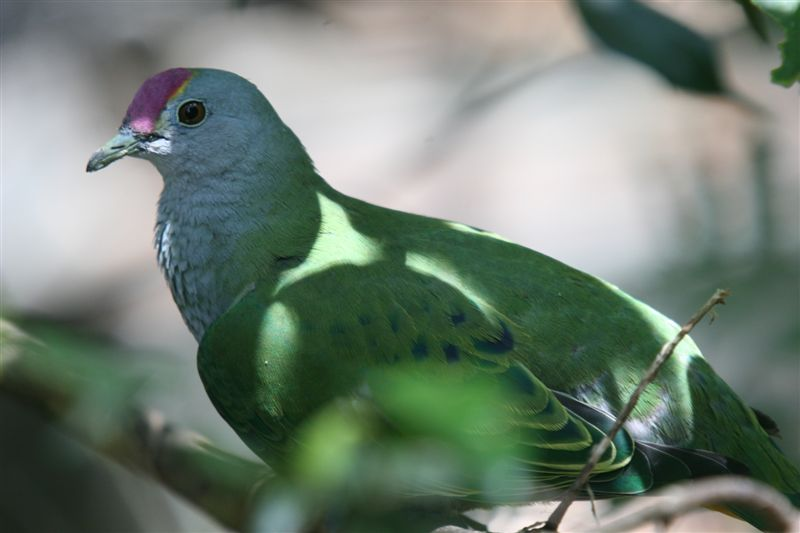 Rose-crowned Fruit-dove (Ptilinopus regina); Image ONLY