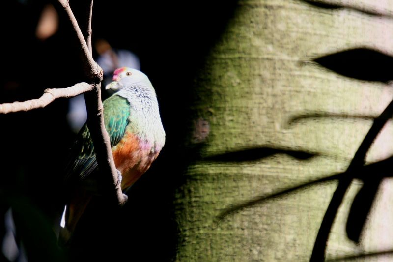 Rose-crowned Fruit-dove (Ptilinopus regina); DISPLAY FULL IMAGE.
