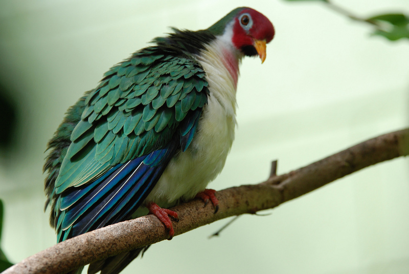 Jambu Fruit-dove (Ptilinopus jambu).jpg