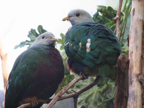 Wompoo Fruit-dove (Ptilinopus magnificus) - Wiki; Image ONLY