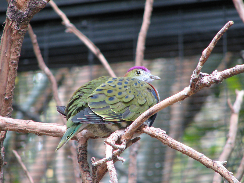 Superb Fruit-dove (Ptilinopus superbus), Phoenix Zoo; DISPLAY FULL IMAGE.