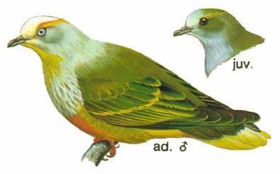White-capped Fruit-dove (Ptilinopus dupetithouarsii) - Wiki; Image ONLY