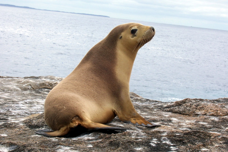 Eared Seals (Family: Otariidae; fur seals and sea lions) - Wiki; DISPLAY FULL IMAGE.