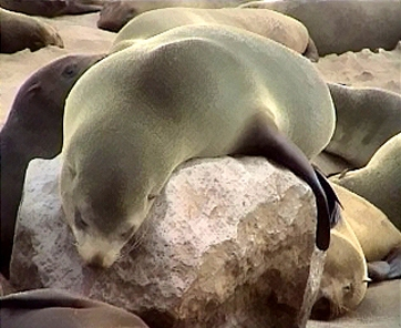South African or Cape Fur Seal (Arctocephalus pusillus) - Wiki; Image ONLY