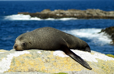 Southern or New Zealand Fur Seal (Arctocephalus fosteri) - Wiki; Image ONLY