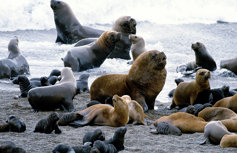 Southern or South American Sea Lion (Otaria flavescens) - Wiki; DISPLAY FULL IMAGE.