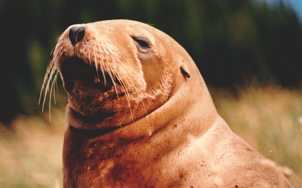 Hooker's or New Zealand Sea Lion (Phocarctos hookeri) - Wiki; Image ONLY