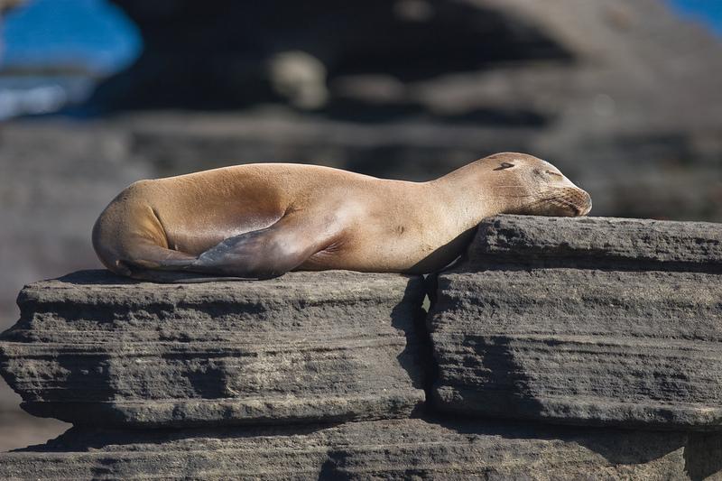 Galapagos Sea Lion (Zalophus wollebaeki).jpg