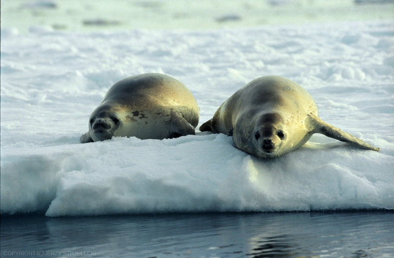 Earless Seals (Family: Phocidae; true seals) - Wiki; DISPLAY FULL IMAGE.