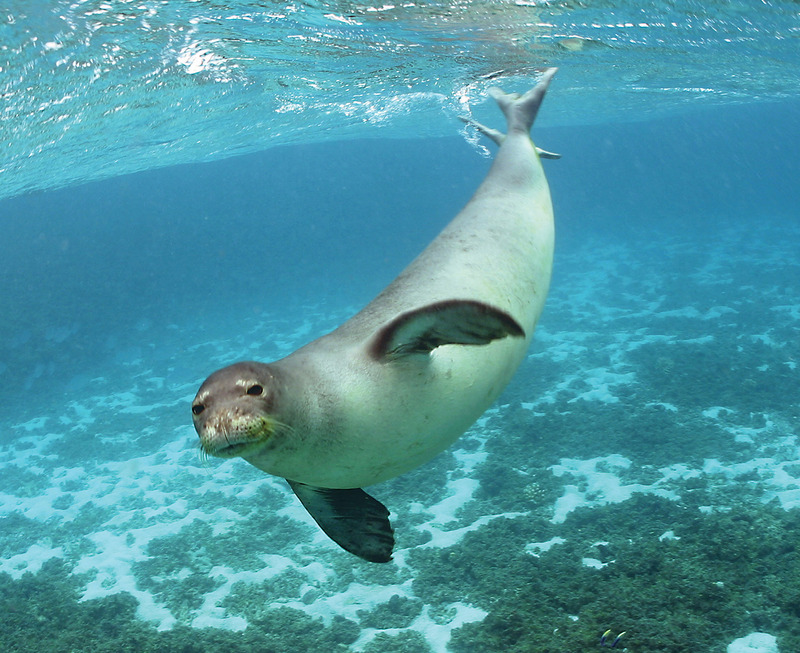 Hawaiian Monk Seal (Monachus schauinslandi) - Wiki; DISPLAY FULL IMAGE.