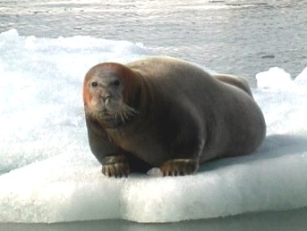 Bearded Seal (Erignathus barbatus) - Wiki; Image ONLY