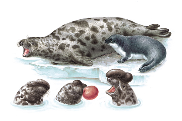 Hooded Seal (Cystophora christata) - Wiki; Image ONLY