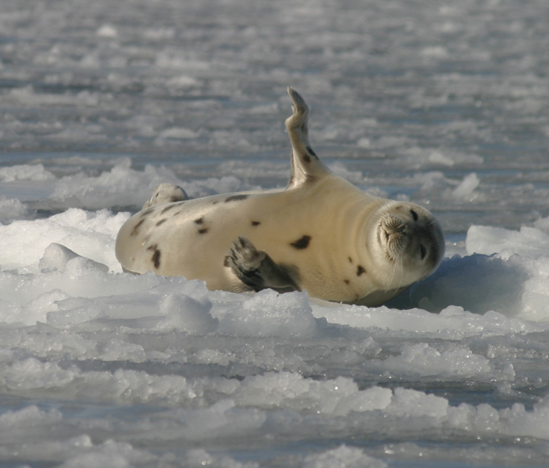 Harp Seal (Phoca groenlandica) - Wiki; DISPLAY FULL IMAGE.