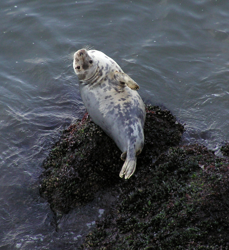 Grey Seal (Halichoerus grypus) - Wiki; DISPLAY FULL IMAGE.