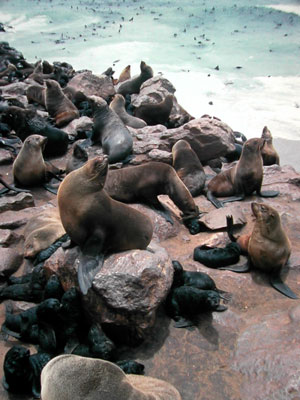 Fur Seals (part of Family: Otariidae) - Wiki; Image ONLY