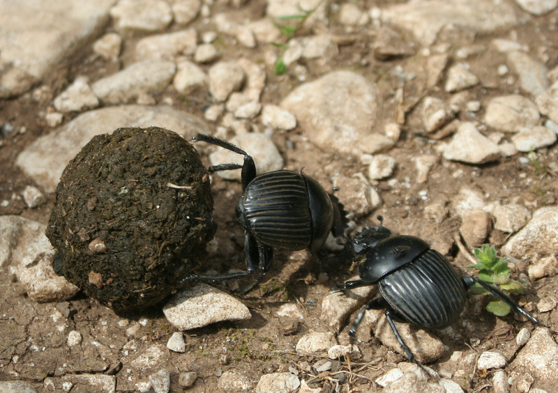 Dung Beetle (Superfamily: Scarabaeoidea) - Wiki; DISPLAY FULL IMAGE.