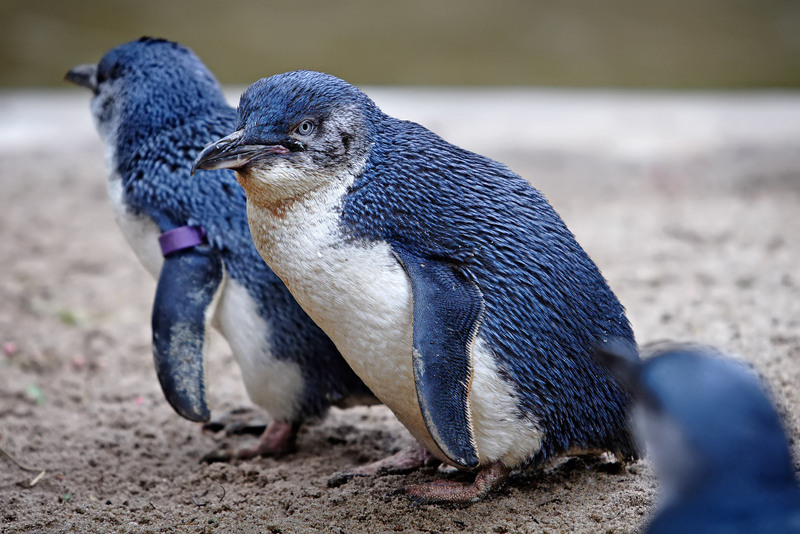Little Penguin (Eudyptula minor) - Wiki; DISPLAY FULL IMAGE.