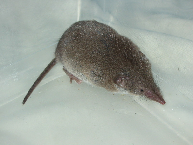 Common Shrew (Sorex araneus) - Wiki; DISPLAY FULL IMAGE.
